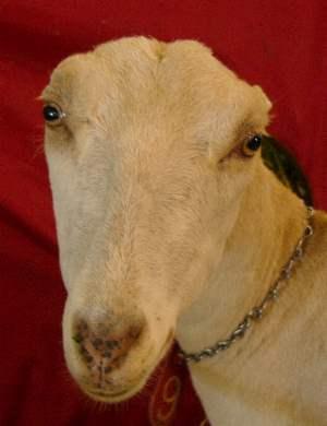 LaMancha-Dairy---Kiko-Goats